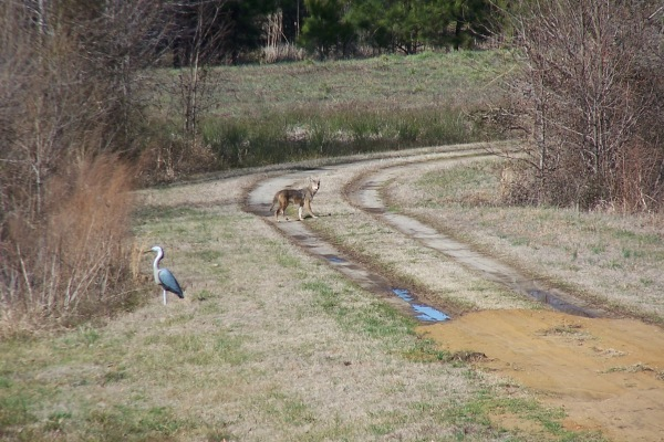 1-Coyote checking out our decoy 2-27-13
