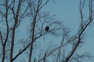 Eagle perched behind house 3-13